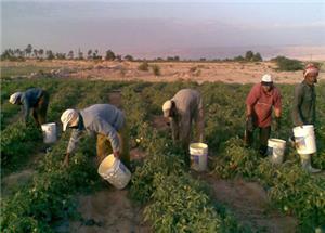 العاملون في القطاع الزراعي .. بين الموجة الحارة وظروف عمل غير لائقة